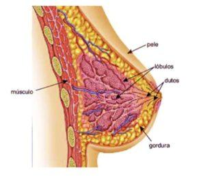 anatomia mamas